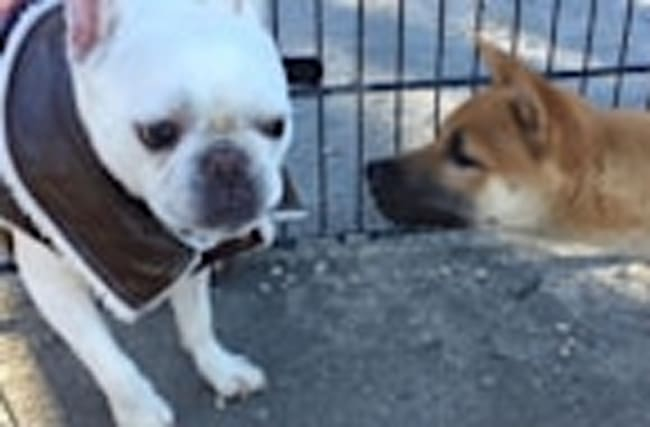 Shiba Inu puppy completely obsessed with French Bulldog's outfit