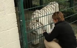 Video: One-eyed white tiger's sight saved by groundbreaking surgery