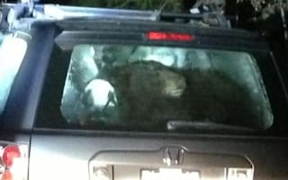 Hungry bears trapped in cars in California