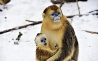 Rare baby golden snub-nosed monkey amazed by snow in China