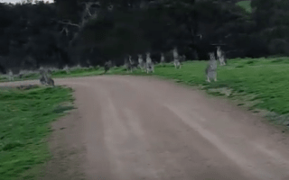 Cyclist films 'terrifying' encounter with 'kangaroo apocalypse'