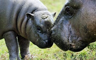 Pygmy plunge pool! Baby hippo takes first swim at Whipsnade Zoo