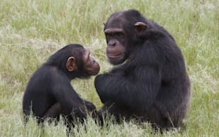 Chimps launch savage attack on man at South Africa game reserve