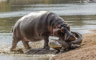Hippo bites crocodile to protect her baby in South Africa