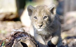 UK zoo appeals for unwanted Christmas meat to feed lions