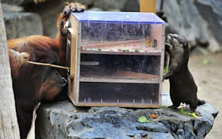 Orangutan and otter take on food puzzle together