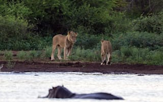 Lion attacks baby hippo then faces angry mum