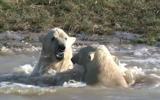 Polar bears meet for first time and become instant friends (video)