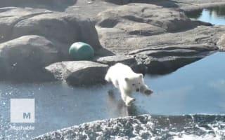 Watch this adorable polar bear cub take her first swim