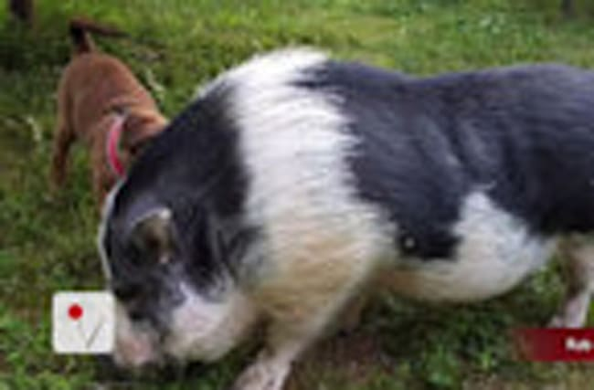 Pet Pig Survives Tennessee Fire and is Reunited With Family