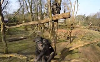 Clever chimp destroys spying drone (watch the funny video)