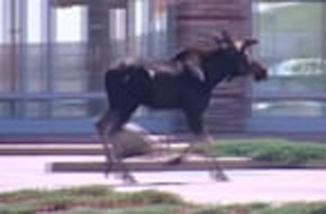A moose on the loose in Colorado