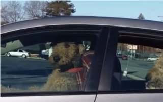 Impatient terrier honks car horn while waiting for owner