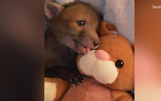 This is too cute: Rescued fox falls in love with toy bunny