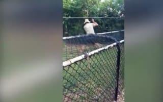 Crocodile handler mauled at zoo in Australia (video)
