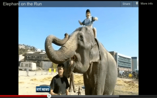 Video: Elephant runs away from the circus in Ireland