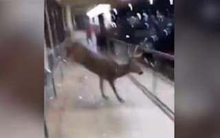 Deer in a shop gives customers a shock