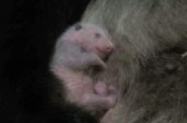 Japan zoo says newborn panda is female