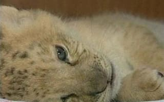 Video: What do you get when you cross a lion with a tiger?