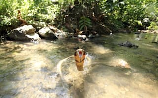 Photographer captures king cobra strike