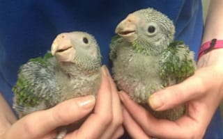 Newquay Zoo welcomes rare (and very cute) parrot chicks