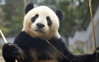 Two giant pandas heading to UK zoo for first time in 17 years