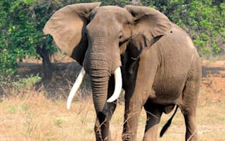 South African hunter killed after being crushed by elephant