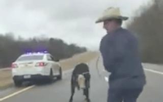 American policeman films sheriff lassoing calf from car bonnet
