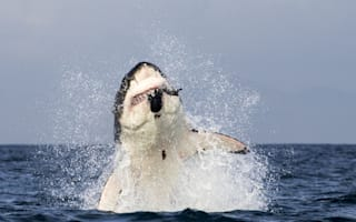 Incredible photos: Great White shark leaps out of water to catch seal in its jaws