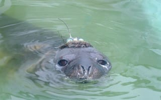 Baby seal who keeps getting lost needs to be flown home