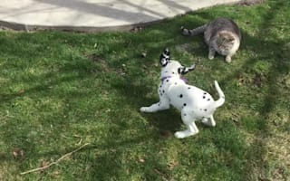 Dalmatian puppy tests cat's patience