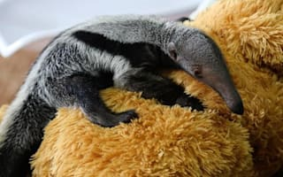 Teddy bear acts as surrogate mother to baby anteater