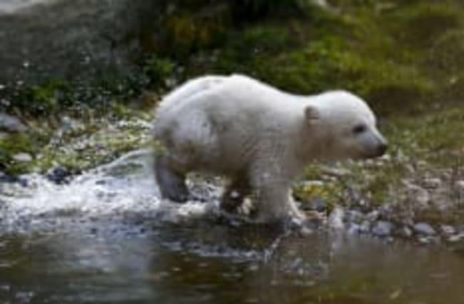 Un bébé ours polaire présenté au zoo de Munich