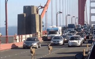 Deer bring traffic to a standstill on Golden Gate Bridge