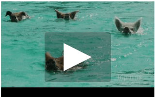 Video of the day: Swimming with pigs in the Bahamas (yes, you read that right)