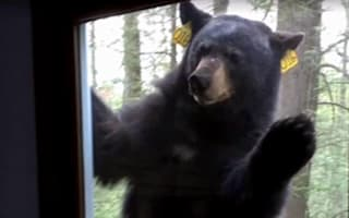Terrifying moment bear bangs on window and refuses to go away