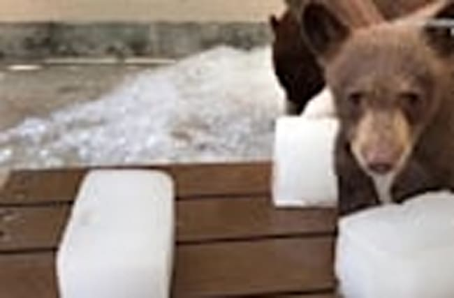 Hot Bears Cubs have Fun Playing in Ice