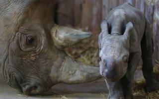 Beautiful baby rhino born at Chester zoo