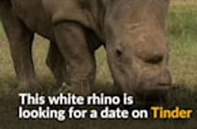 Rhino seeks for mate on Tinder