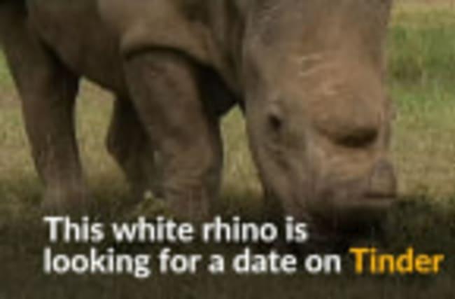 Rhino seeks for mate on Tinder