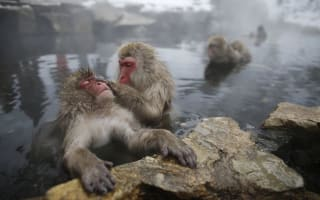 Japan zoo kills 57 snow monkeys over 'alien genes'