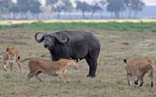 Buffalo fights off three lions in Kenya safari attack