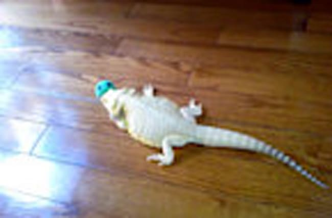 Bearded dragon tries to bury cat toy
