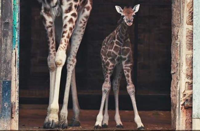 Watch: Rare Rothschild giraffe calf takes first steps outside
