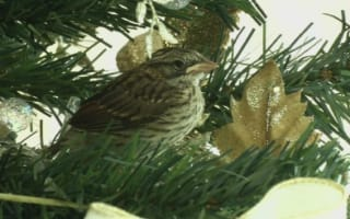 Baby birds hatch in family's Christmas tree