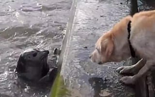 Cute video alert: Seal jumps out of River Thames to play with dog