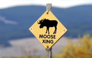 Canadians warned not to approach car-licking moose
