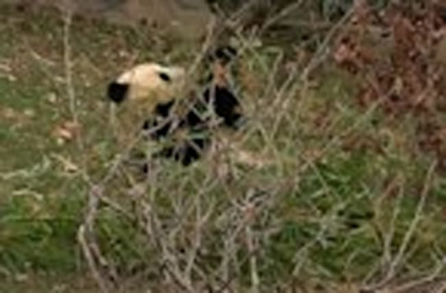 Bao Bao feasts on pre-flight bamboo breakfast