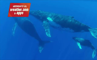 "Whales ""release 257 gallons of urine a day each"""