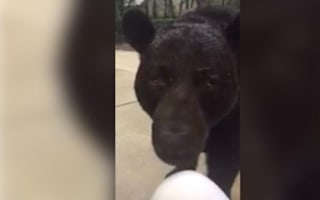Large black bear gets up close and personal with humans